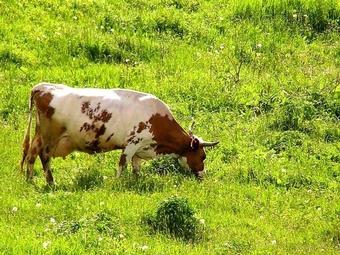 Они вооружены копытами и опасны: британские коровы-убийцы