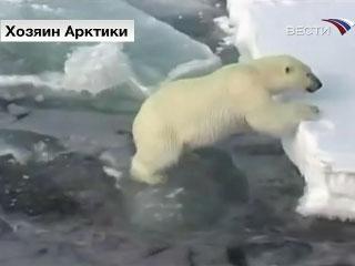 Белые медведи осваивают новые территории
