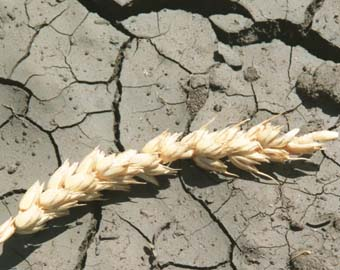 Минсельхоз РФ повысил с 11 млн тонн до 13 млн тонн оценку потерь зерна из-за засухи