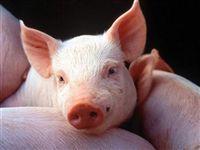 13 октября из ирландского города Карло выехал автопоезд, который доставит в Омск вторую партию племенных свиней...