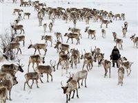 Ученые изучат пути миграции северных оленей через плато Путорана в Красноярском крае