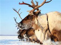 Ученые РФ и Канады получили международный грант на изучение древнего оленеводства