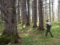 Ученые Красноярска создали технологию, позволяющую ускорить на 30 лет выращивание кедра