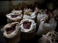 Беспорядки в Кот-д'Ивуаре подняли цены на какао