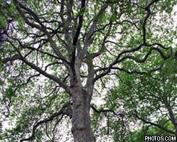 Самое дорогое дерево в Британии оценили в $1,5 млн