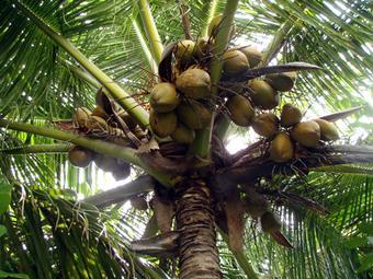 """Изобретатель """"собиралки"""" кокосов получит 1 млн рупий"""